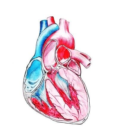 Эскизы сердца (3)